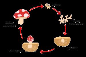 mushroom-lifecycle