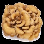 Mushroom Remedy - maitake
