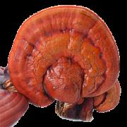 Mushroom Remedy - Reishi